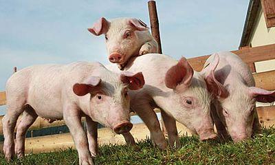 schweine spiele kostenlos